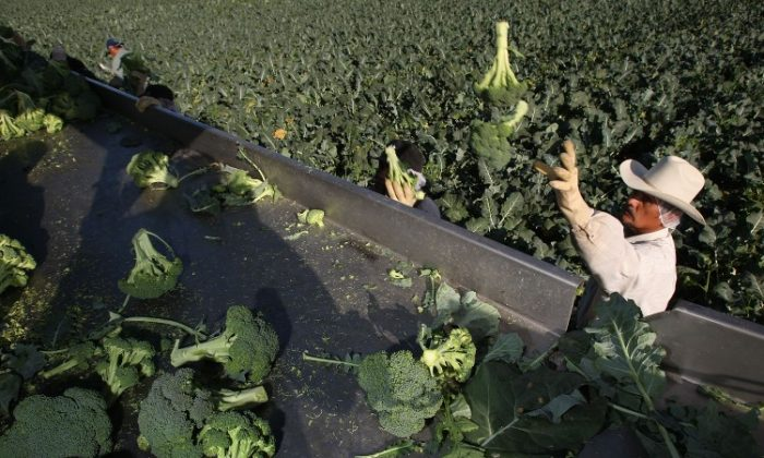 In this file photo, a farm worker harvests broccoli near El Centro, Calif., in March. California, Arizona, and the highlands of Mexico have dominated the broccoli industry since the early 1900s. (David McNew/Getty Images)