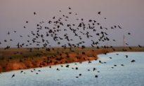 Dead Birds Fall From Sky: Dead Birds in Louisiana a New Coincidence?