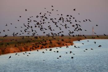 Blackbirds fly over an irrigation canal on April 17, 2009 near Firebaugh, California. (David McNew/Getty Images)