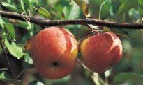 New Zealand Apples Into the Australian Basket