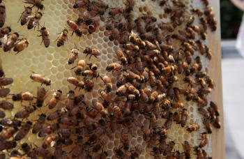 THRIVING BEEHIVE: As global bee populations dwindle, urban bees, such as those in this hive on a Brooklyn rooftop, may have an advantage over their country-dwelling cousins.  (Chris Hondros/Getty Images)