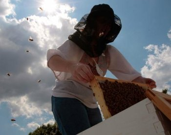 In the North East US a beekeeper pulls out a part of her colony of Italian honeybees from the hive. In Michigan Scientists have been weeding out Spotted knapweed, an invasive plant, but beekeepers say the species is important for honeybees.   (Chris Hondros/Getty Images)