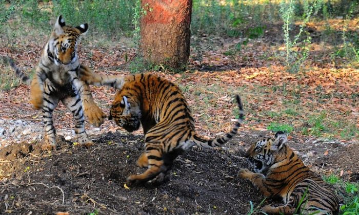 Indian tiger cubs play in their enclosure at Nagpur Zoo. The cubs were taken into care by forest officials and brought to the zoo. About half of the world's estimated 3,200 tigers are in India. (STR/AFP/Getty Images)