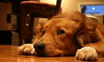 Protect Your Pet During New Year Celebrations