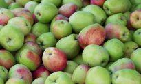 Raining Apples Halt Rush-Hour Traffic in UK