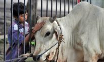 Australians Protest Live Exports to Indonesia