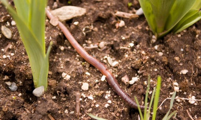 Earthworms can make nano-semiconductors called quantum dots when fed soil that contains heavy metals. (Shaun Lowe/Photos.com)