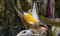Busting the Myths About GM Foods