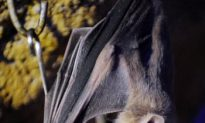 Vampire Bats With Rabies Infect Indigenous Peruvians, Four Dead