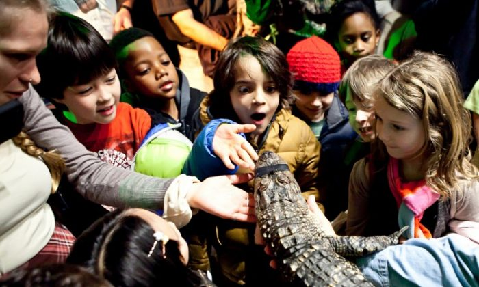 Local students from New York public schools interacted with alligator Abby on Thursday. They attended the opening of HISTORY channel's recreation of a Louisiana swamp in Chelsea Market where 5,600 square feet is home to alligators, turtles, cypress trees, and other plants from the indigenous region. The exhibit will be open daily through Feb. 12. (Amal Chen/The Epoch Times)