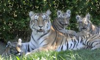 Tiger Cubs Open to Public at Bronx Zoo