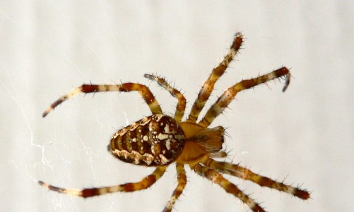 Research finds that small spiders' brains can extend to their legs. (Patrick Clenet/Wikimedia Commons)