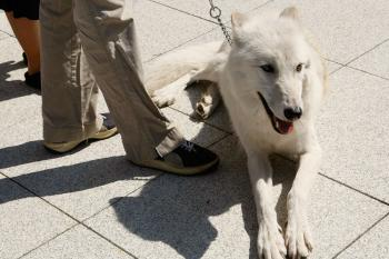 WASHINGTON - SEPTEMBER 25: Five-year-old Arctic Gray Wolf Atka sits at a news conference to introduce the 'Protect America's Wildlife (PAW) Act' on Capitol Hill September 25, 2007 in Washington, DC. (Alex Wong/Getty Images)