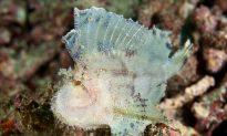 SCIENCE IN PICS: Leaf Scorpionfish