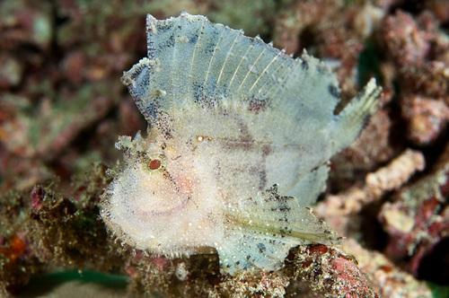 Leaf scorpionfish at Padangbai in Bali, Indonesia. (Matthew Oldfield)