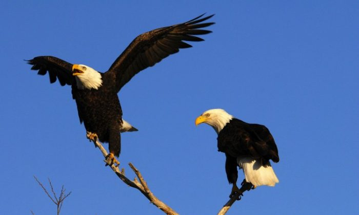A pair of bald eagles perched on a branch. The American Bald Eagle species is flourishing in the Northwestern United States, but lasting effects of past threats to their survival remain. (Dave Menke/U.S. Fish and Wildlife Service)