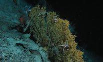 Deep-Sea Crabs May Color-Code Food Using Ultraviolet