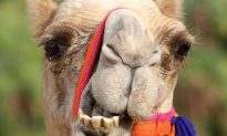 Five Ways Camels Are Still Being Used