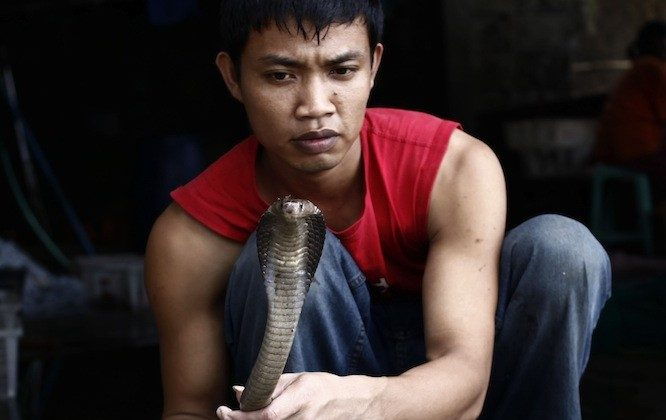 A snake butcher, Muhammad Nur, holds a cobra as they are harvested to make into burgers on June 24, 2010 in Yogyakarta, Indonesia. The snakes are caught and processed into burgers which are served at a local restaurant in various guises. (Ulet Ifansasti/Getty Images)