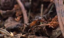 British Wood Ants To Be Tracked With Tiny Radios