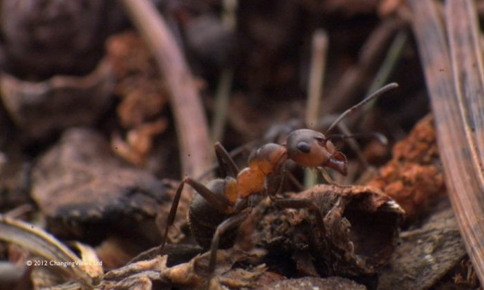 Tagging a Northern hairy wood ant. (Changing Views)