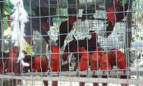 Wild Birds Trafficked Through Solomon Islands