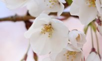 Perfect Timing: Shen Yun with the Cherry Blossom Festival