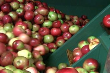 Apples ready for grinding and pressing, producing a sweet, clear cider the old fashioned way. (NTDTV)