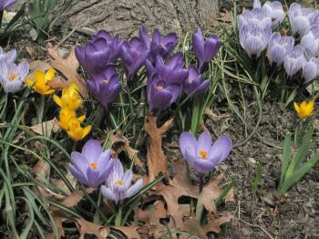 A solitary crocus. (Louise McCoy/The Epoch Times)