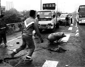 In a scene from 'Disorder,' a pig is chased after an accident on the motorway. (Courtesy of Hotdocs.ca)