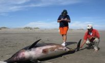 Peru: Dolphins Weren't Killed by Explosions