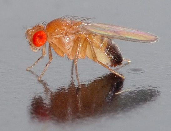 Study finds that fruit flies can medicate themselves with alcohol to avoid death from parasitic wasps. (André Karwath/Wikimedia Commons)