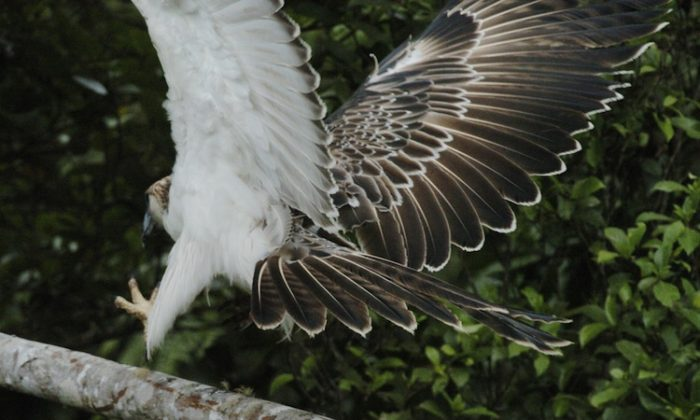 A rare Philippine Eagle nicknamed 'Kabayan' flies out of its cage April 22, 2004, in a planned release at the PNOC Geothermal Production Field located at the Mt. Apo park in Cotabato province, southern Philippines. (Romeo Gacad/AFP/Getty Images)