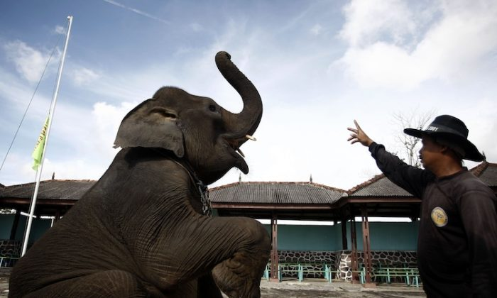 Sumatran elephant receives training from elephant keeper for circus performance. (Ulet Ifansasti/Getty Images)