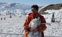 Shrinking Sea Ice Stresses Emperor Penguins