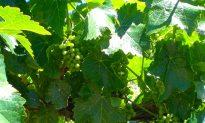 On Wine: Captivating Canadian Wine