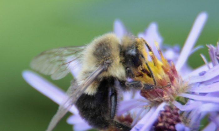 Researchers found that some bees have novelty-seeking personalities. (Stephanie Lam/The Epoch Times)