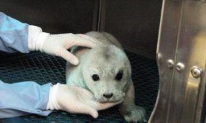 Newborn Harbor Seal Pups Vulnerable