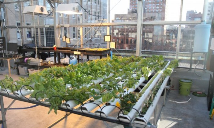 A view from the inside of an educational greenhouse on top of P.S. 333 on 93rd Street. According to the City Planning Commission, proposed zoning changes will make it easier to put greenhouses, and other green features, on rooftops. (Kristen Meriwether/The Epoch Times)
