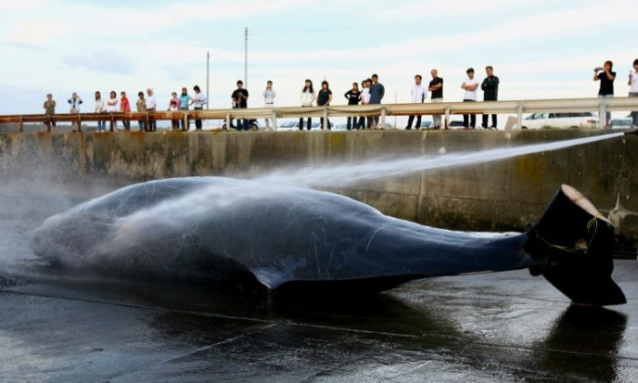 A file photo of a Japanese fisherman processing a Baird's Beaked whale at Wada Port in Chiba, Japan in June 2007. (Koichi Kamoshida/Getty Images)