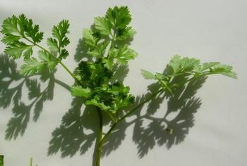 Cilantro is a natural chelator of heavy metals.  (Louise Valentine/The Epoch Times)