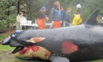 Orca Suspected of Being Killed by Military Exercises Draws Ire