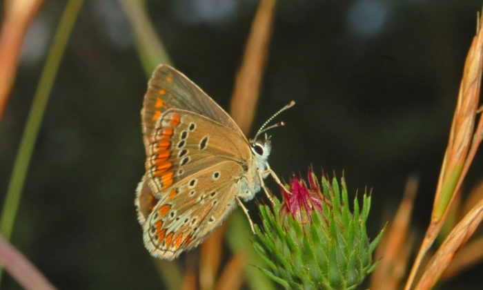 The brown argus butterfly, Aricia agestis. (Hectonichus/Wikimedia Commons)