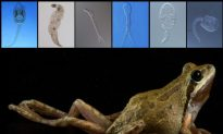 Diverse Parasites Improve Health in Amphibians