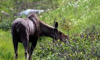 Iconic Moose Hit by Mysterious Virus in Sweden