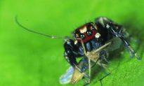 Vampire Spiders Select Insect Victims Based on Antennae