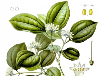 NUX VOMICA: This homeopathic remedy has many uses. (Koehler's Medizinal-Pflanzen)