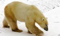 Conservation Groups Oppose U.S. Ban on Polar Bear Trade