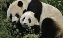 Giant Pandacea: Endangered Chinese Bears Immune to Superbugs