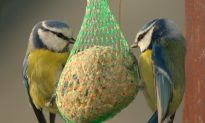 SCIENCE IN PICS: The Blue Tit's Colorful Tale